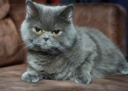 grey cat: British Shorthair cat.