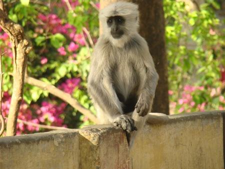 hanuman langur: Grey Langur posing