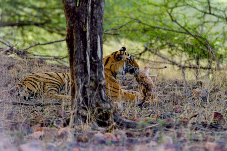 Female tiger caught spotted deer prey