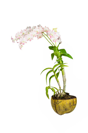 dendrobium: Dendrobium orchid in coconut shell pot isolated on white background