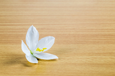 orchid tree: bauhinia acuminata or snowy orchid tree flower on wooden panel Stock Photo