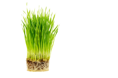 Sprout wheatgrass with root isolated on white background Stock Photo
