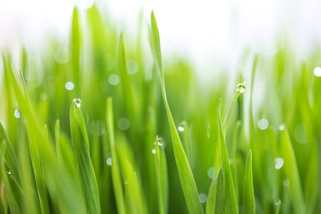 Dew drop on fresh wheatgrass with nature bokeh, For nature background, (shallow depth of field)