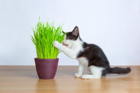Baby cat eating wheatgrass or cat grass