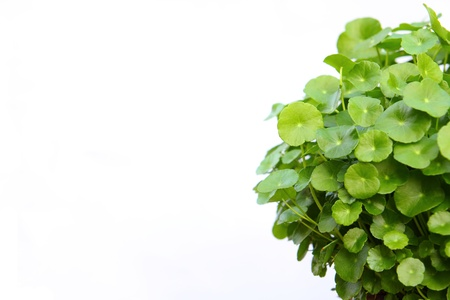 Gotu kola(Centella asiatica), arthritis herb  Stock Photo
