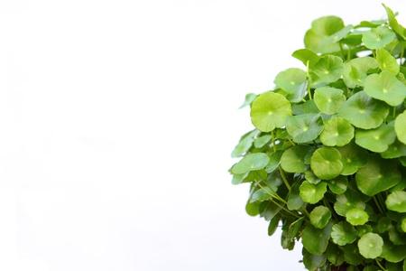 Gotu kola(Centella asiatica), arthritis herb  Stock Photo