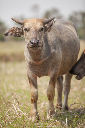A young water buffalo is looking at my camera and still standing