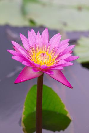 pink lotus on green  photo