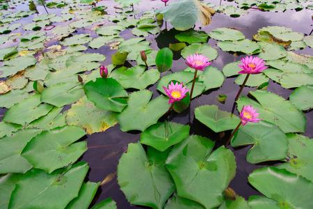 group of pink lotus photo