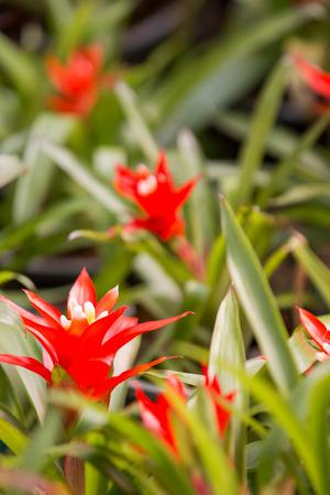 guzmania: many beautiful guzmania magnifica flower as floral background
