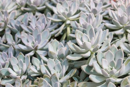 sedum sp. crassulaceae Stock Photo