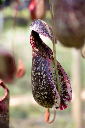 carnivorous fish: Nepenthes