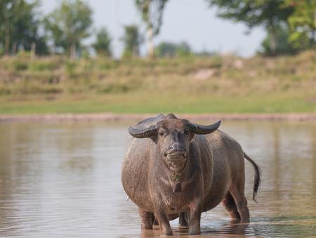 water buffalo eating grass in field