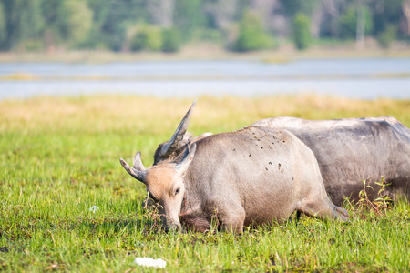 buffalo grass: water buffalo eating grass in field
