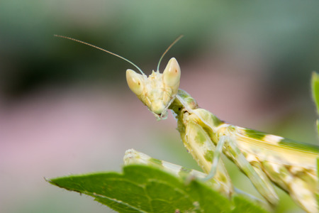 european mantis: green adult female of praying mantis