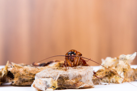Brown Cockroach on spoiled food Stockfoto