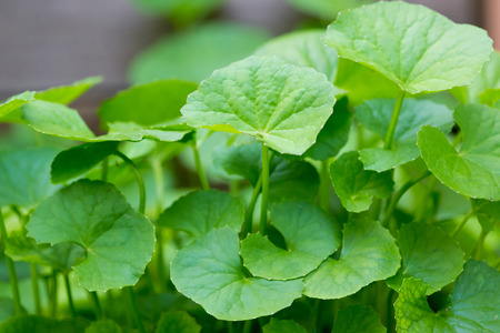 Gotu Kola, Aziatische waternavel, Indische waternavel Stockfoto - 60060333