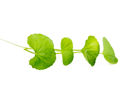 Herbal Thankuni leaves of indian subcontinent, Centella asiatica