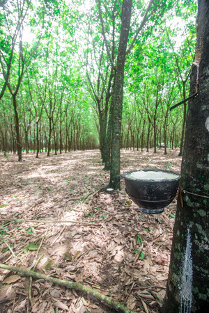 tapping: Tapping sap from the rubber tree Stock Photo