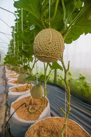 melon field: melon on field in greenhouse.