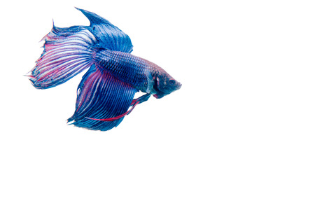 half moon tail: fighting fish isolated on white background.