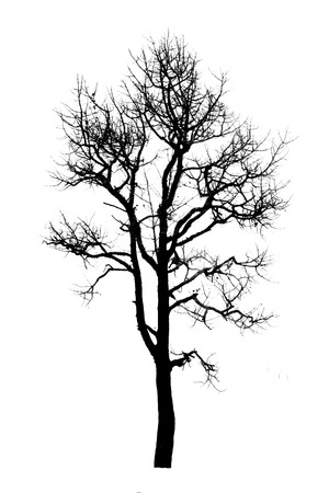 Dead tree silhouette.  old dry without leafs isolated on white
