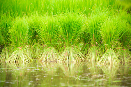 paddy: paddy rice in field