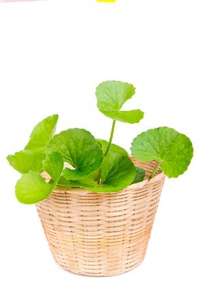 Kruiden Thankuni bladeren van de Indiase subcontinent, Centella asiatica Stockfoto