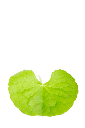 subcontinent: Herbal Thankuni leaves of indian subcontinent, Centella asiatica