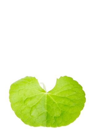longevity medicine: Herbal Thankuni leaves of indian subcontinent, Centella asiatica