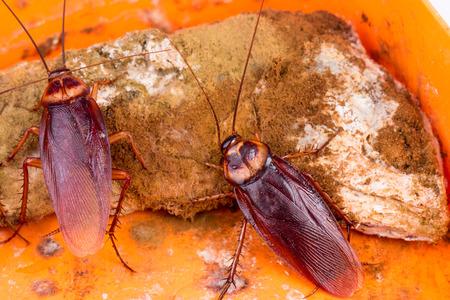 Bruine Kakkerlak op bedorven voedsel Stockfoto