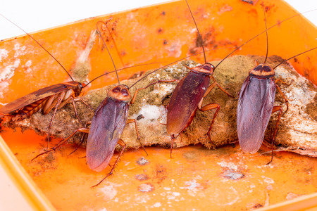 Brown Cockroach on spoiled food Stock Photo