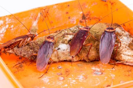 Bruine Kakkerlak op bedorven voedsel Stockfoto - 44196313