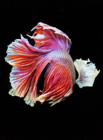 fineart: fighting fish Stock Photo