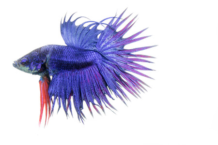 fineart: fighting fish isolated on white background