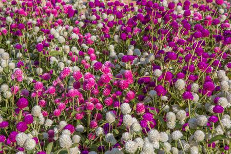 close up globe amaranth beauty Flower Stock Photo