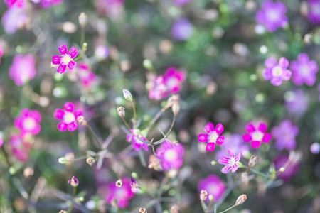 gypsophila flower as background