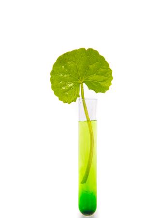 asiatica: Herbal Thankuni leaves of indian subcontinent, Centella asiatica,gotu kola on white background,