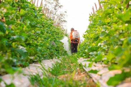 pesticide: spraying pesticide in cantaloupe garden