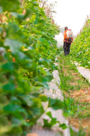 unprotected: spraying pesticide in cantaloupe garden