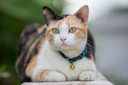 perceive: three-colored cat closeup