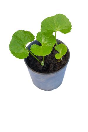 holistic view: gotu kola leaves on white background Stock Photo