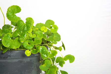 Gotu kola, Asiatic pennywort, Indian pennywort on white background 版權商用圖片