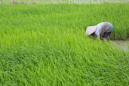 farmer work on rice field Stock Photo