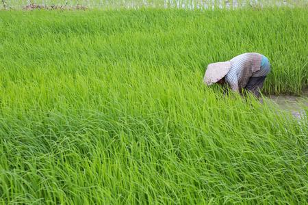 farmer work on rice field Stock Photo