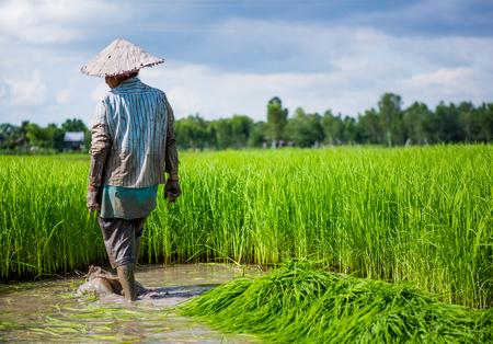 boer werkt op rijstveld Stockfoto
