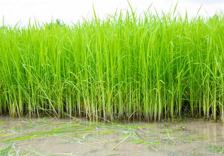 cultivator: Rice seedlings