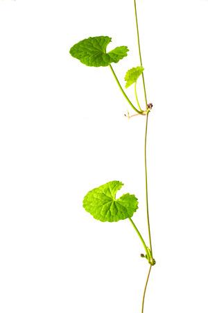 inflammatory: gotu kola leaves on white background Stock Photo