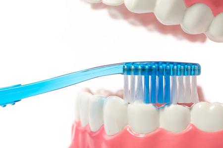 dental model,teeth model on white background. Stock Photo