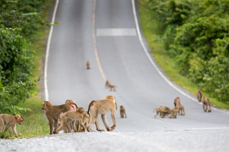 group of monkey walking on the road